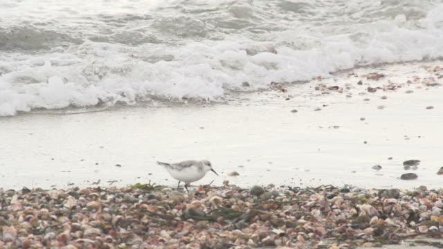 bird walking on shells - marram grass stock videos and b-roll footage