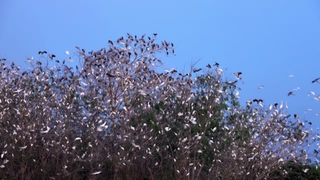 bird watching great egret - great egret stock videos & royalty-free footage