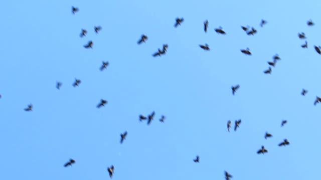 Bird Wave Of Daurian Jackdaw