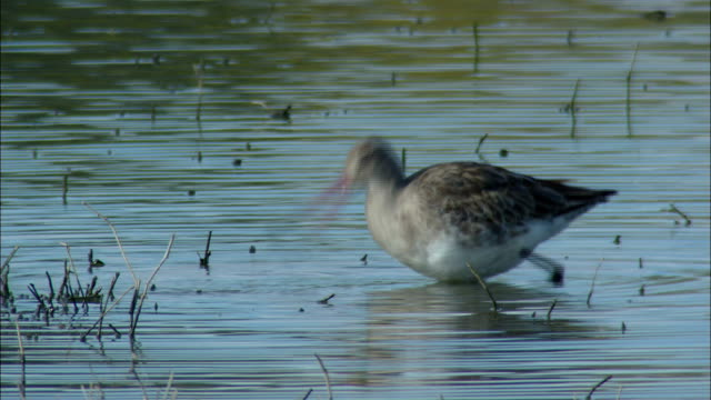 a bird with a long beak dunks its head in a marsh searching for fish. - becco video stock e b–roll