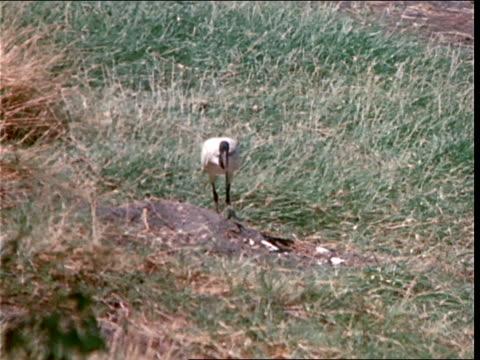 a bird with a long curved beak forages in  grass. - gliedmaßen körperteile stock-videos und b-roll-filmmaterial
