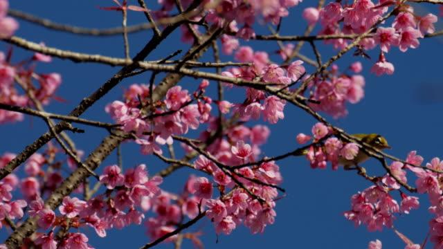 桜と青空の映像、自然の背景を持つ鳥 - 永久運動点の映像素材/bロール