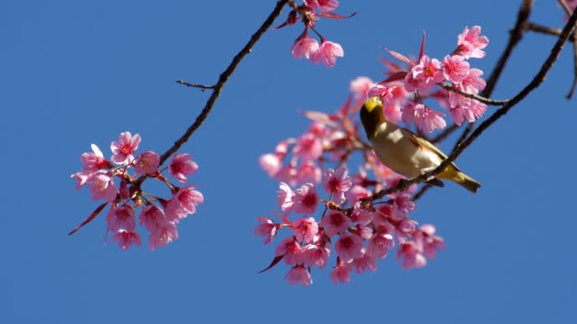 Bird with Cherry blossoms and blue sky , Nature footage background