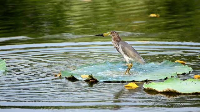 vídeos de stock e filmes b-roll de bird03 - captura de peixe