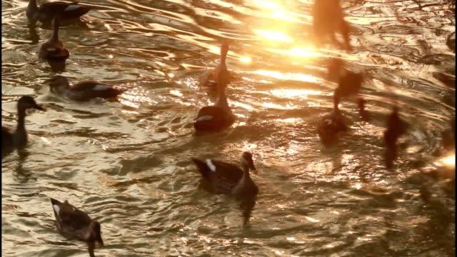 bird-life : ducks swimming in shallow water - water bird stock videos & royalty-free footage