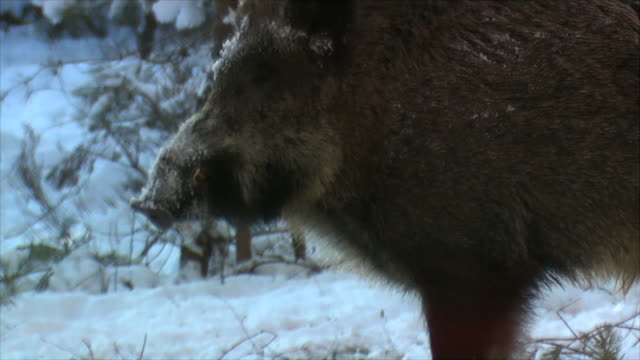 birds and boar winter - boar stock videos & royalty-free footage