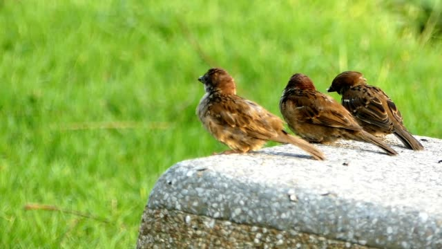 birds and green grass - sparrow stock videos & royalty-free footage
