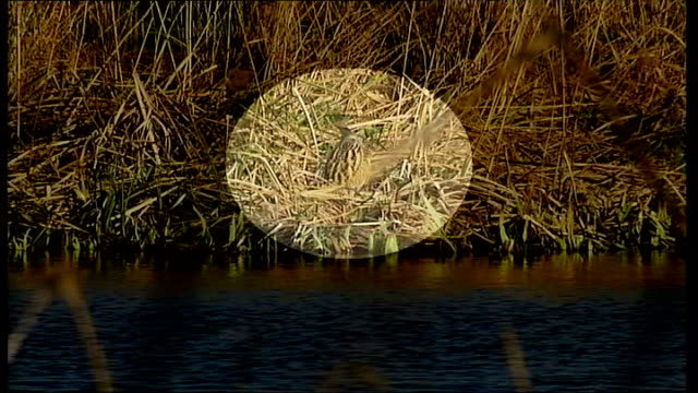 bitterns nest at barnes wetlands centre; england: london: barnes: wetland centre: ext bittern bird stands in long grass by water bittern standing by... - water bird stock videos & royalty-free footage