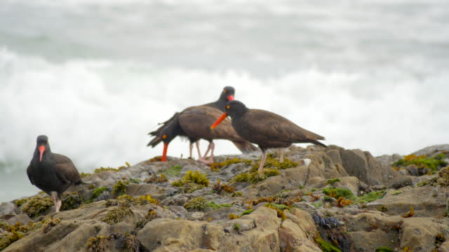 "birds ""black oystercatcher"" on rocks of pacific ocean coast in northern california. ocean waves on background. - four animals stock videos & royalty-free footage"