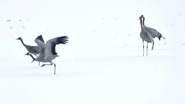 vögel-krane auf dem schnee - eurasischer kranich stock-videos und b-roll-filmmaterial