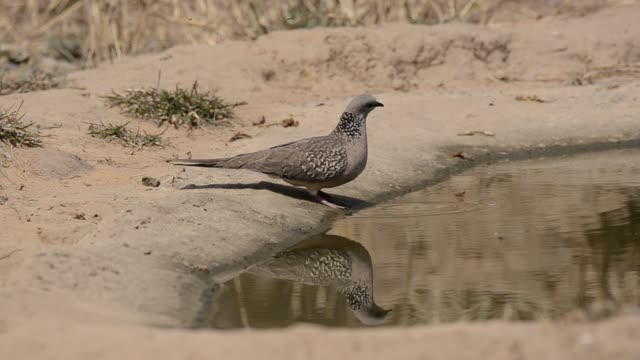 Birds drinking water from a water hole on a hot summer day inside bandhavgarh national park during a wildlife safari