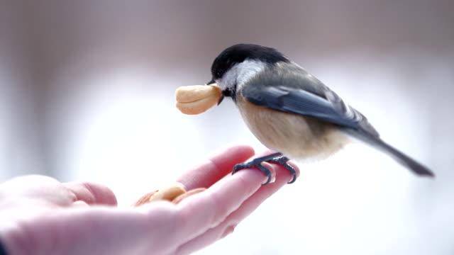 vídeos de stock, filmes e b-roll de birds eat nuts in hand of cross-country skier - um animal