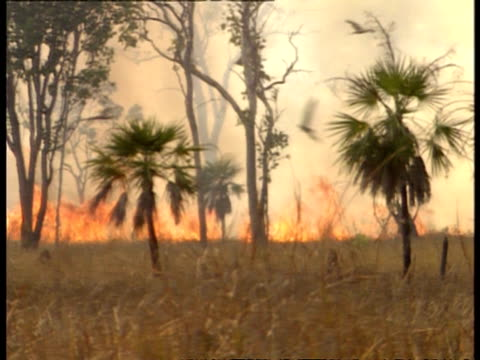 ms birds escaping grass fire in bush, pan right - inferno stock videos & royalty-free footage