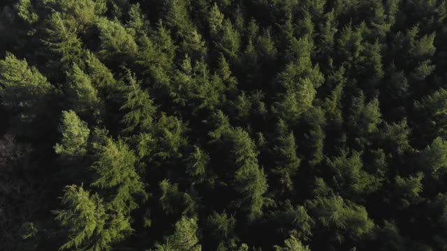 birds eye drone shot of a lush evergreen forest - natural condition stock videos & royalty-free footage
