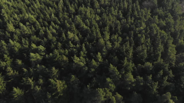 birds eye drone shot of a lush evergreen forest - forest stock videos & royalty-free footage