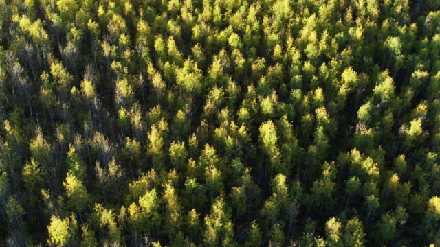 birds eye view of aspen forest - aspen tree stock videos & royalty-free footage