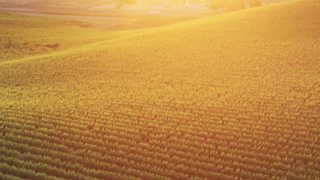Birds Eye View of California Vineyard at Sunset