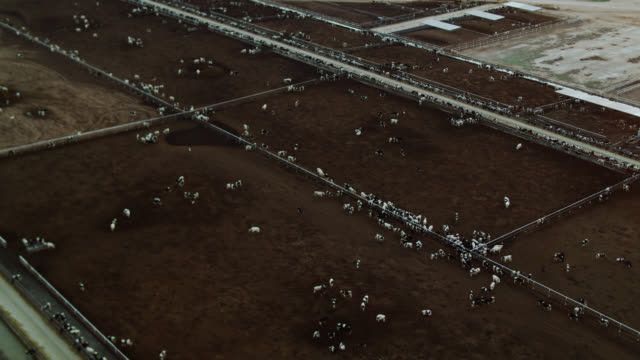 birds eye view of cattle feedlot - vacca video stock e b–roll