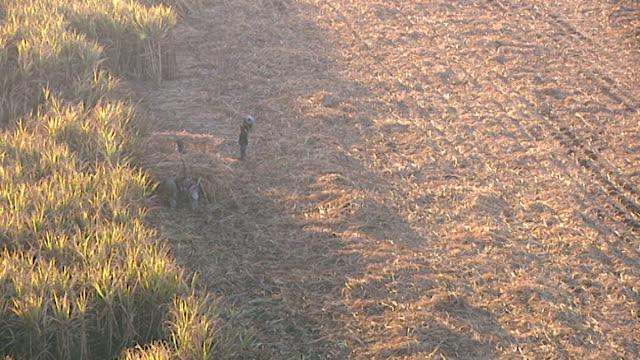 bird's eye view of fellaheen harvesting wheat in a field in luxor - getreide stock-videos und b-roll-filmmaterial