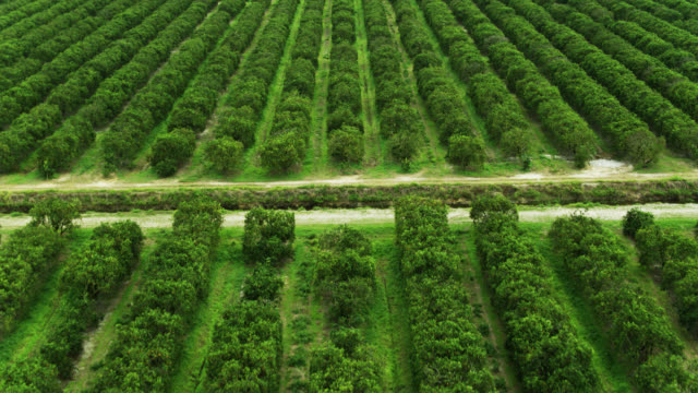 bird's eye view of florida orange grove - grove stock videos & royalty-free footage