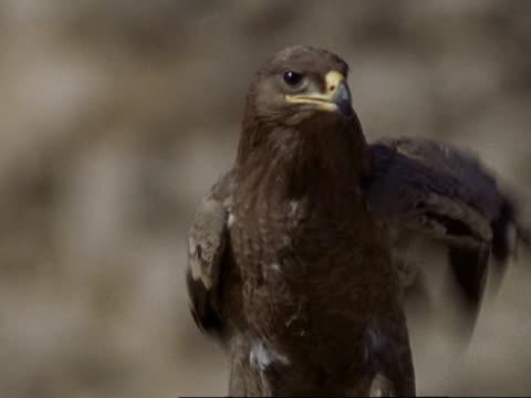 birds feeding on tahr corpse - steppe eagle (aquila nipalensis) feeds on tahr corpse, oman - adler stock-videos und b-roll-filmmaterial