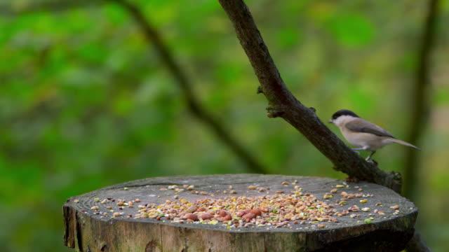 birds feeding. - 英国スカーブラ点の映像素材/bロール