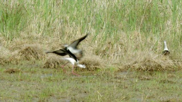 stockvideo's en b-roll-footage met birds fighting in lake neusiedl 02 - kleine groep dieren