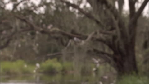 birds flock together in a moss-covered tree by a marshy lake. - marsh stock videos & royalty-free footage