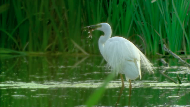 birds flocking and hunting during dry times in lake neusiedl - egret stock videos & royalty-free footage