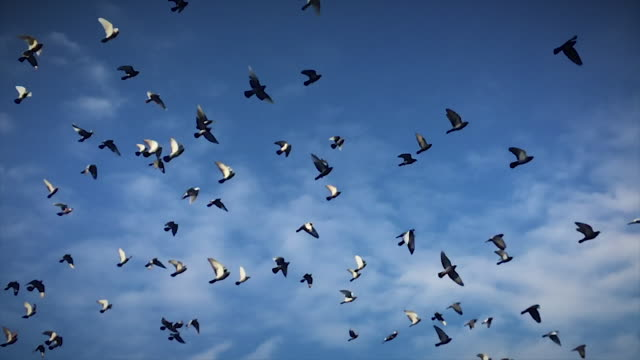 vídeos de stock, filmes e b-roll de birds flocking in slow motion (murmuration) - north america