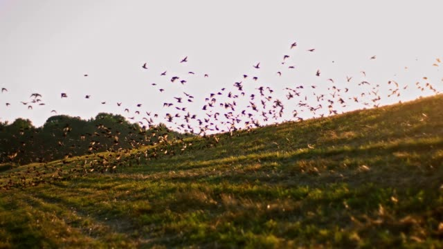 SLO MO Birds fly over the meadow