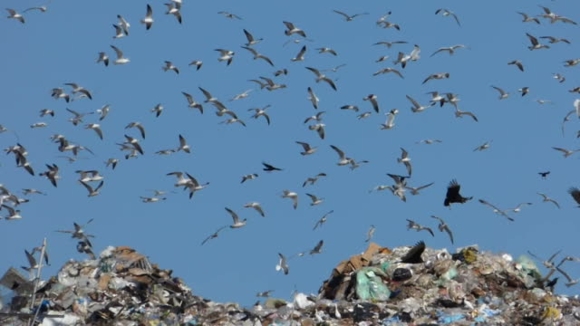 Birds Flying Over Garbage At The Dump