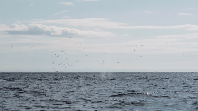 birds following whales off the coast of alaska - humpback whale stock videos & royalty-free footage
