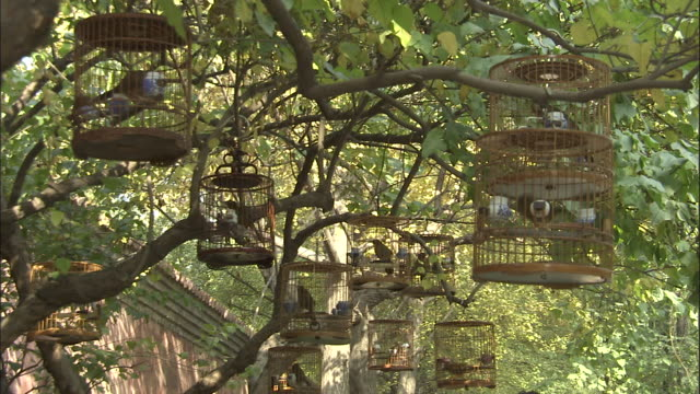 birds hop around in small cages hanging from tree, beijing. - songbird stock videos & royalty-free footage