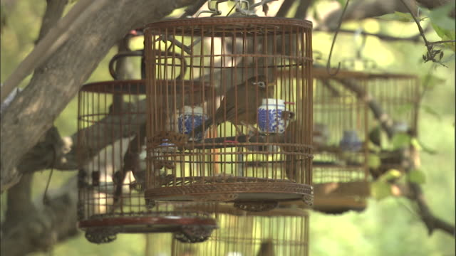 vidéos et rushes de birds hop around in small cages hanging from tree, beijing. - animaux en captivité