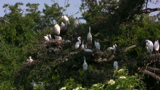 birds in a southern rookery - egret stock videos & royalty-free footage