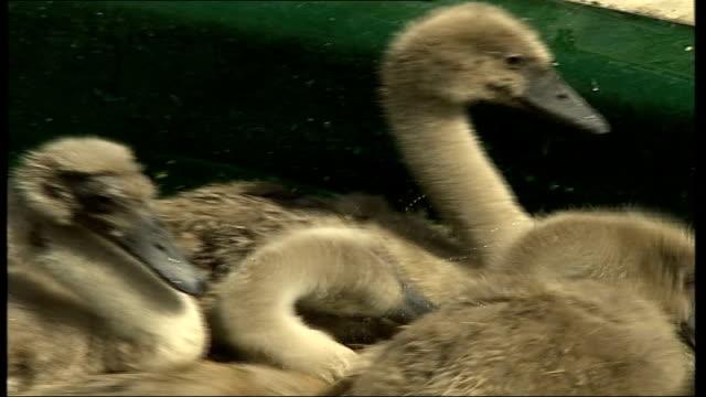 vidéos et rushes de birds in shepperton swan sanctuary; ducks swimming in pond / swan in enclosure, more of ducks / ducks and swan swimming around in large pond - organisme aquatique