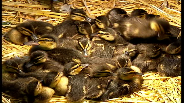 birds in shepperton swan sanctuary england middlesex shepperton int general views of ducks and ducklings huddled together in enclosure closeup of... - waddling stock videos and b-roll footage