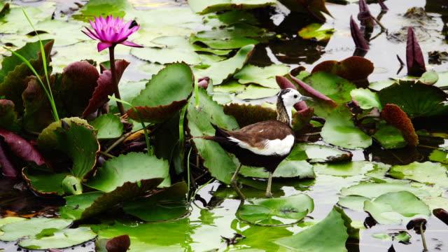 vídeos y material grabado en eventos de stock de 4k: aves en el estanque de loto - paso largo