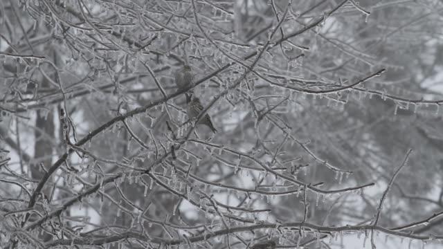 vídeos de stock, filmes e b-roll de birds in trees covered with ice - grupo pequeno de animais