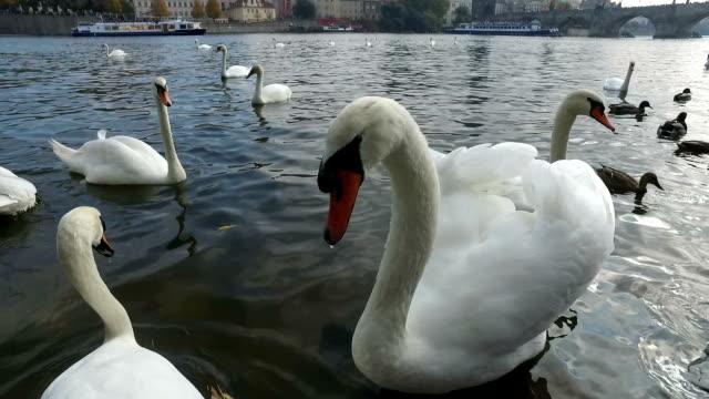 stockvideo's en b-roll-footage met vogels in de vltava in de buurt van charles bridge - knobbelzwaan