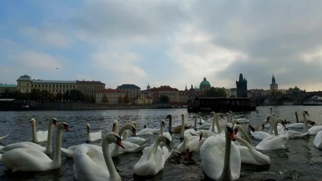 birds in vltava river - stare mesto video stock e b–roll