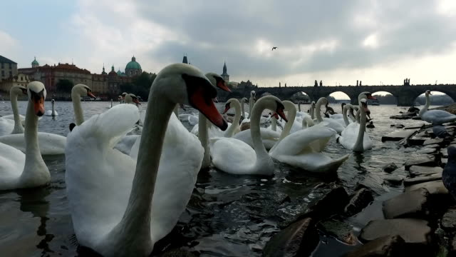 birds in vltava river - cigno video stock e b–roll