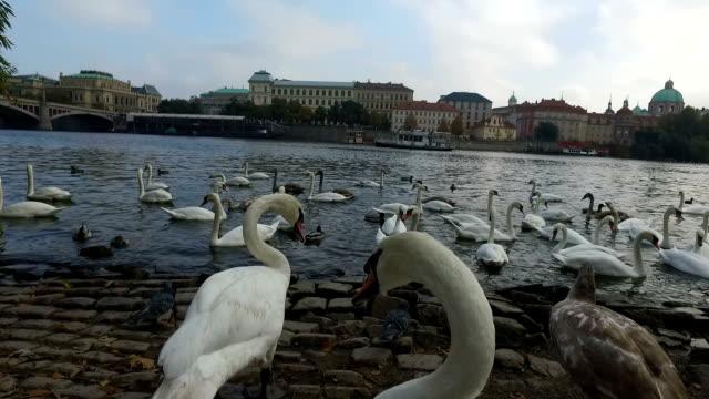 stockvideo's en b-roll-footage met vogels in de moldau - stare mesto