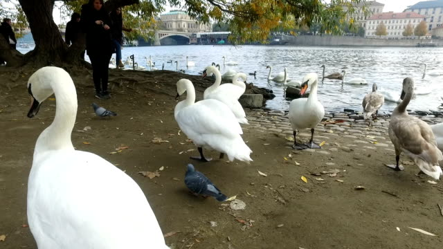 stockvideo's en b-roll-footage met vogels in de moldau - knobbelzwaan