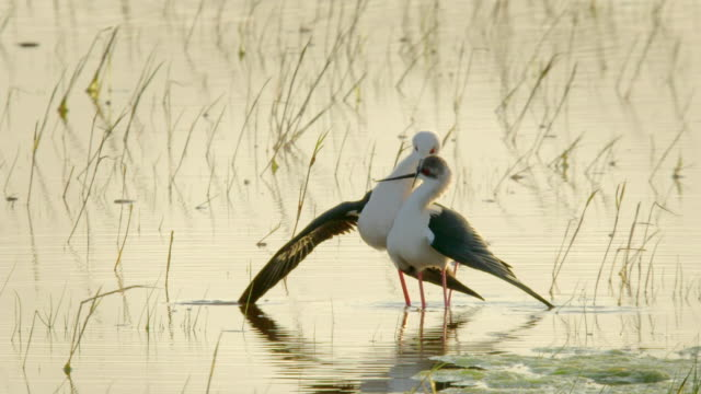 Birds mating and ritual in Lake Neusiedl 02