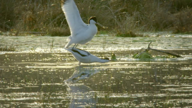Birds mating and ritual in Lake Neusiedl