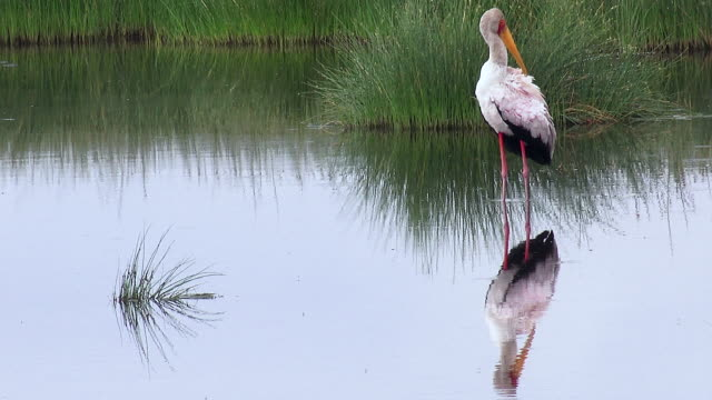 birds, ndutu, tanzania - preening animal behavior stock videos & royalty-free footage