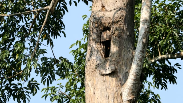 Bird's nest of Hornbill, Hornbill in the forest