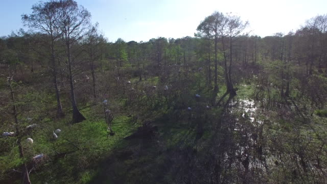 birds nesting in trees quick - drone aerial 4k everglades, swamp bayou with wildlife alligator nesting ibis, anhinga, cormorant, snowy egret, spoonbill, blue heron, eagle, hawk, cypress tree 4k nature/wildlife/weather drone aerial video - bayou lafourche stock-videos und b-roll-filmmaterial